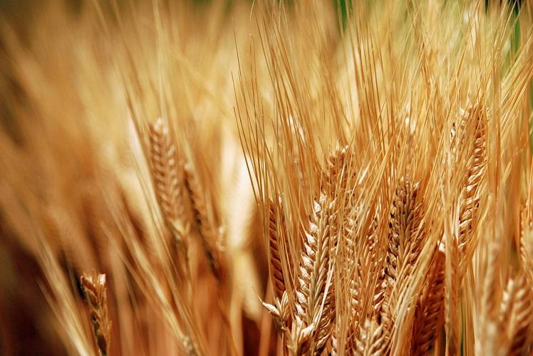 صورة مصر تطرح مناقصة عالمية لاستيراد كمية غير محددة من القمح