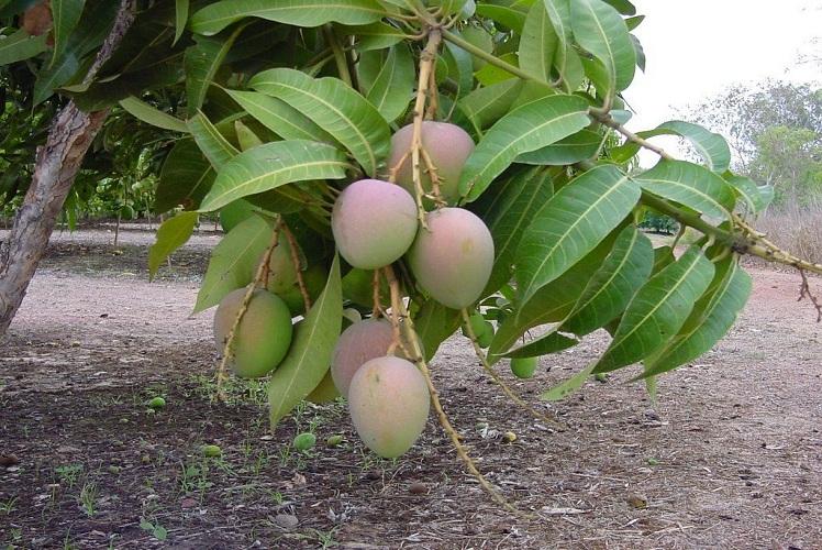 صورة زراعة وإنتاج المانجو