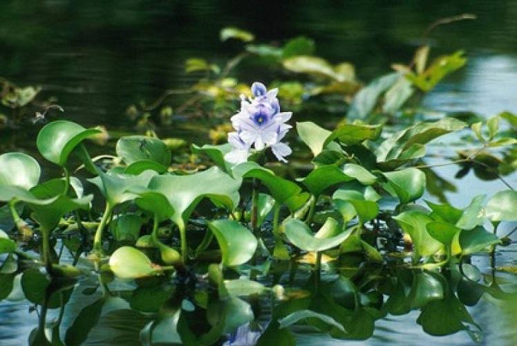 صورة نبات ورد النيل