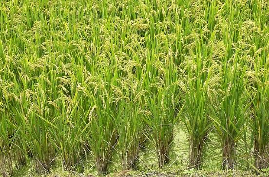 صورة المركزي للتعبئة العامة والإحصاء: 11.0 ٪ انخفاض محصول الأرز