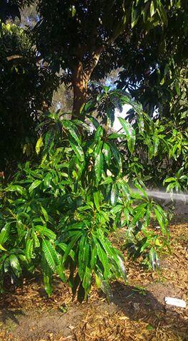 صورة تأخر الإزهار في أشجار المانجو هذا العام