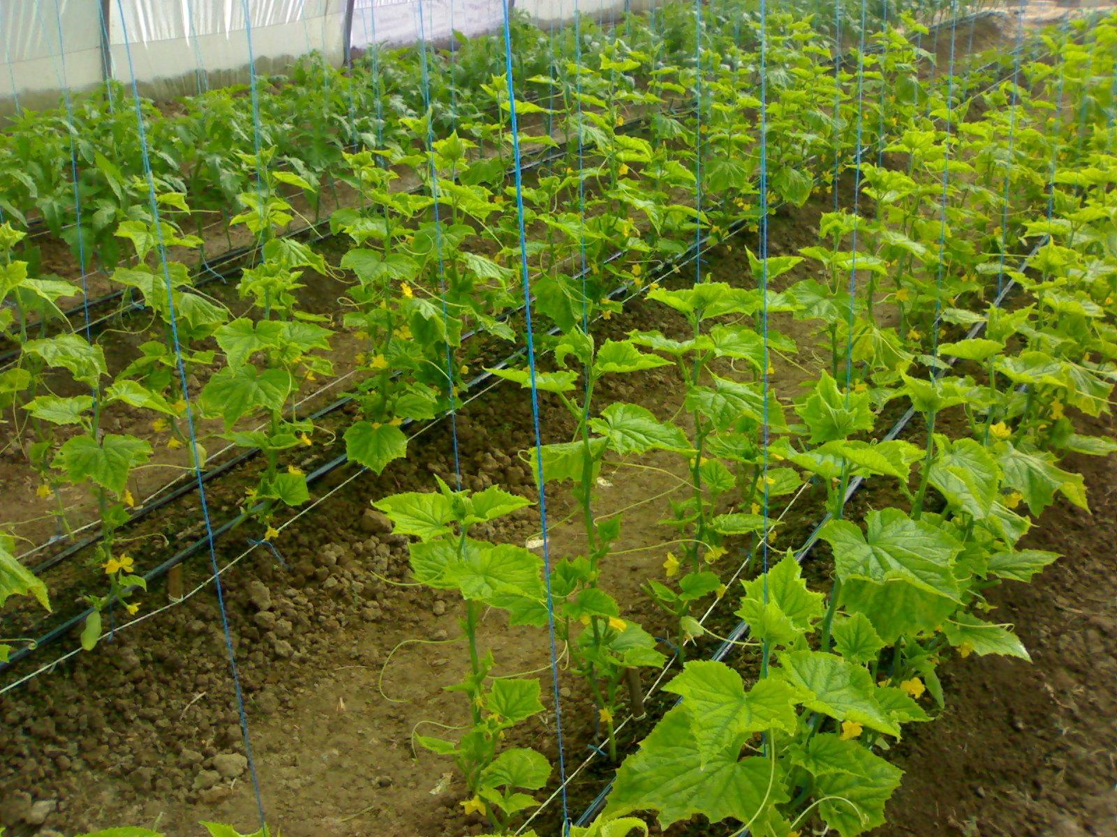 صورة إنتاج شتلات الخضر للزراعات المحمية