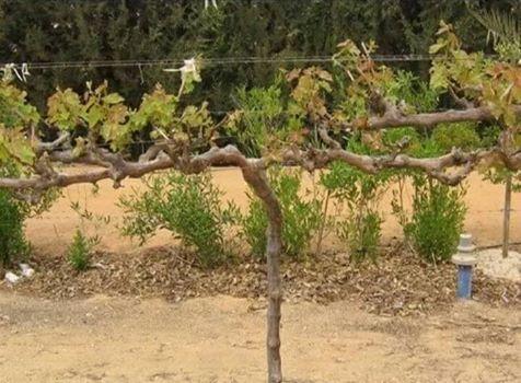 صورة بعض المركبات الحيوية التي يمكن استخدامها في مزارع العنب خاصةً في الأراضي الصحراوية.