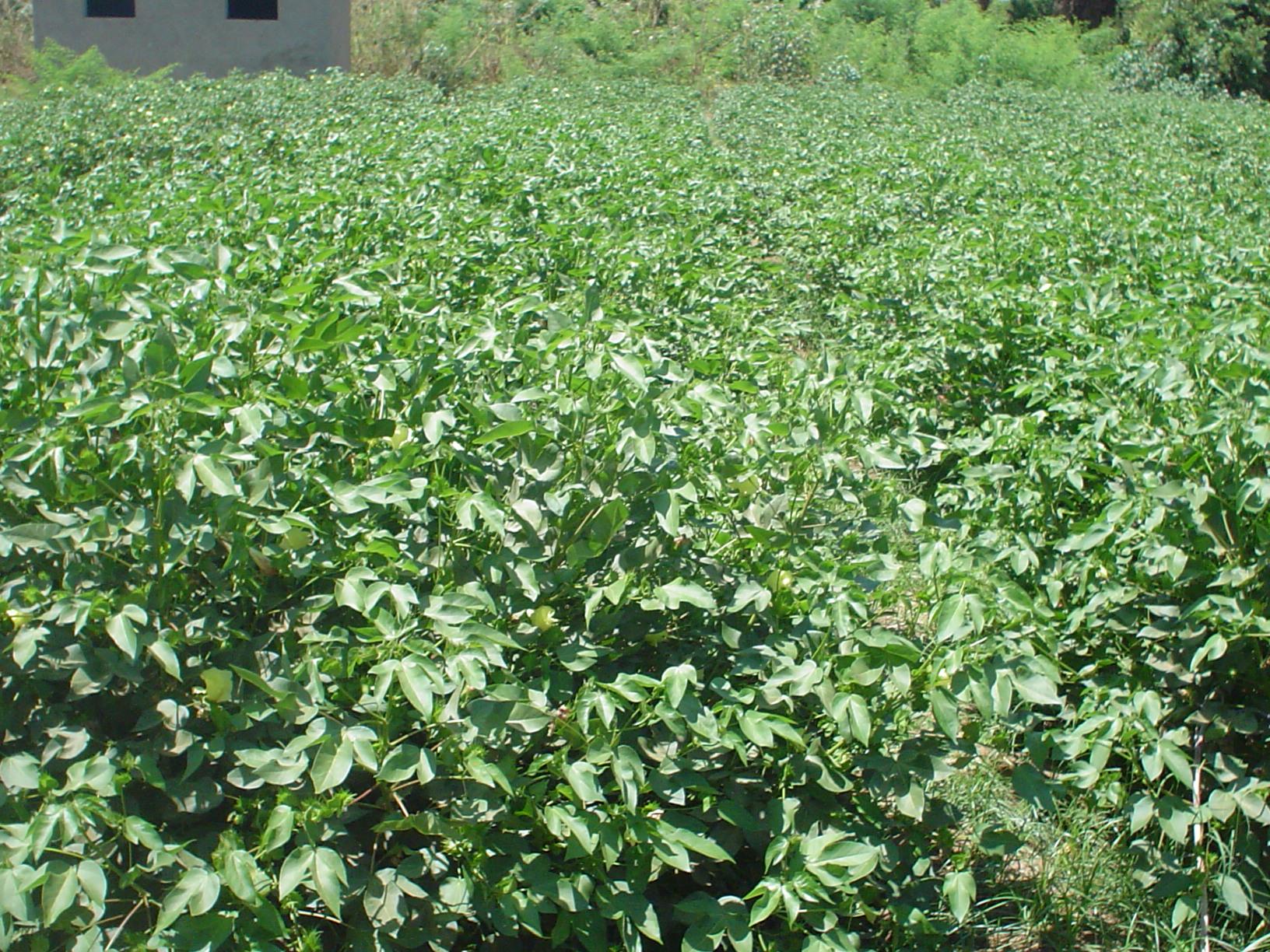 صورة خدمة وزراعة القطن