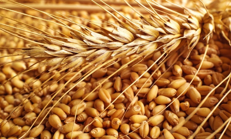 صورة دراسة تؤكد : زراعة القمح بالتسطير المتعامد أفضل إنتاجيا من العشوائى