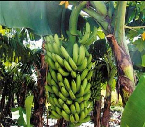 صورة بعض أساليب المكافحة المتكاملة الواجب اتباعها في بساتين الموز