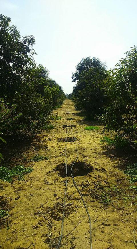 صورة بعض النقاط المهمة الواجب مراعاتها عند استخدام نظام الري بالتنقيط لري اشجار الفاكهة