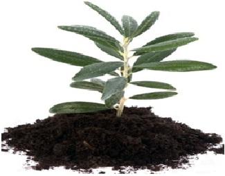 صورة الإكثار الخضري لأشجار الزيتون بالعقل الساقية