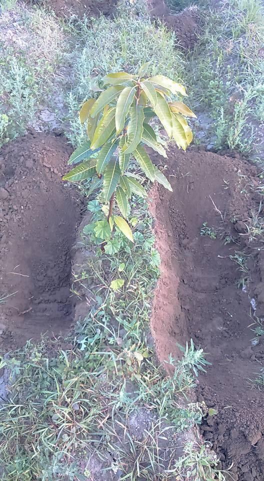 صورة أهم معاملات أشجار المانجو خلال شهر ديسمبر