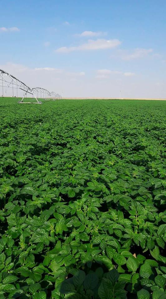 صورة 13 خطوة لانتاج تقاوي البطاطس من البطاطس المستوردة تحت نظام الري المحوري بشكل إحترافي