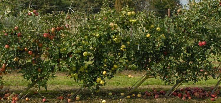 صورة تساقط الأزهار والثمار من أشجار الفاكهة . الأسباب والحلول