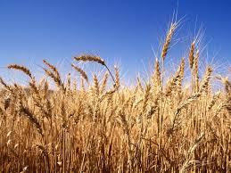 صورة الدكتور حامد عبدالدايم : نخطط لزراعة 3.6 مليون فدان من القمح