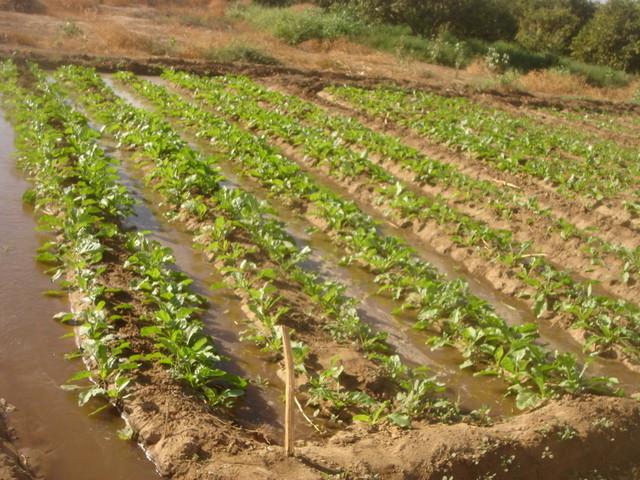 صورة زراعة و خدمة بنجر السكر