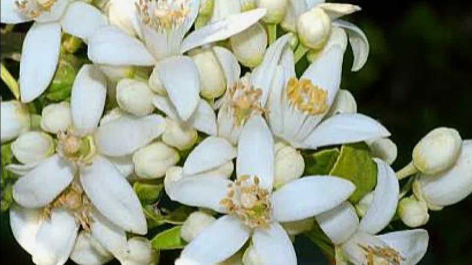 صورة معلومات مهمة حول تطور و نمو الازهار في الموالح