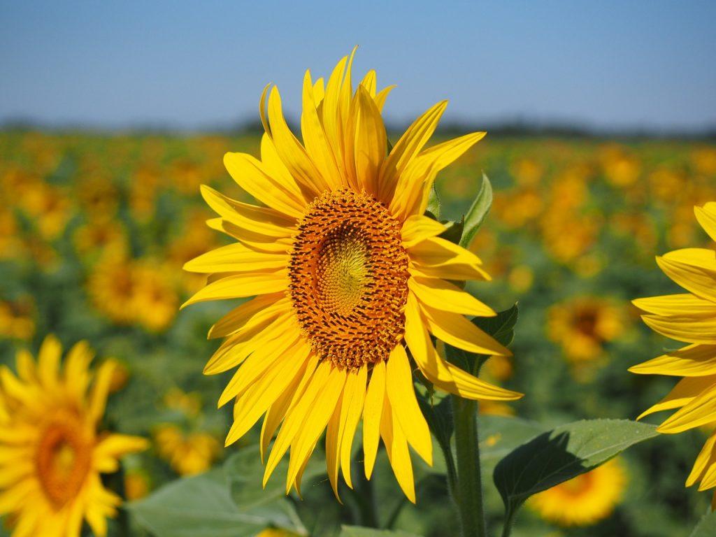 صورة زهرة الشمس .. دوار الشمس … عباد الشمس .. زراعته و خدمته تحت نظام الرى المحورى