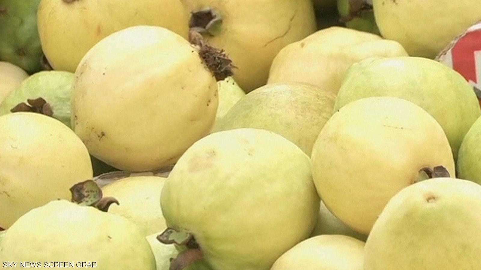 صورة عزيزي المزارع تعرف على أهم المعاملات الزراعية لشهر نوفمبر لمحصول الجوافة