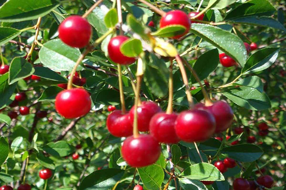 صورة تعرف على البيئة الملائمة لنمو فاكهة الكرز وتحقيق أفضل النتائج