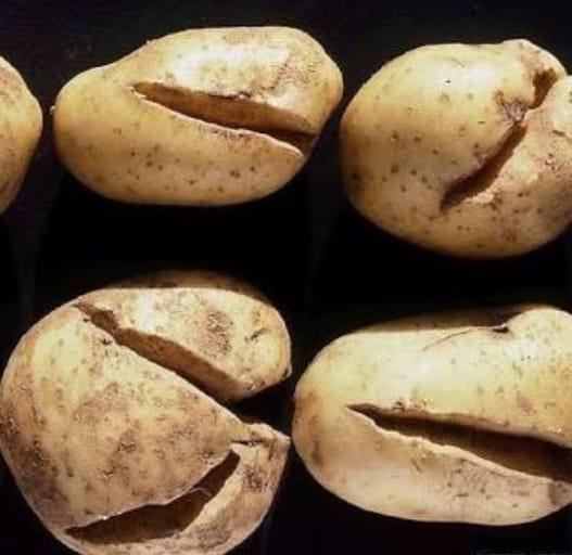صورة تعرف على أسباب تشقق درنات البطاطس potato tuber cracks