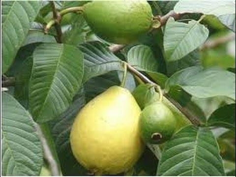 صورة أهم العمليات الزراعية لمحصول الجوافة خلال فبراير