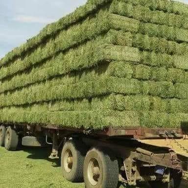 صورة برنامج زراعة وخدمة البرسيم الحجازي