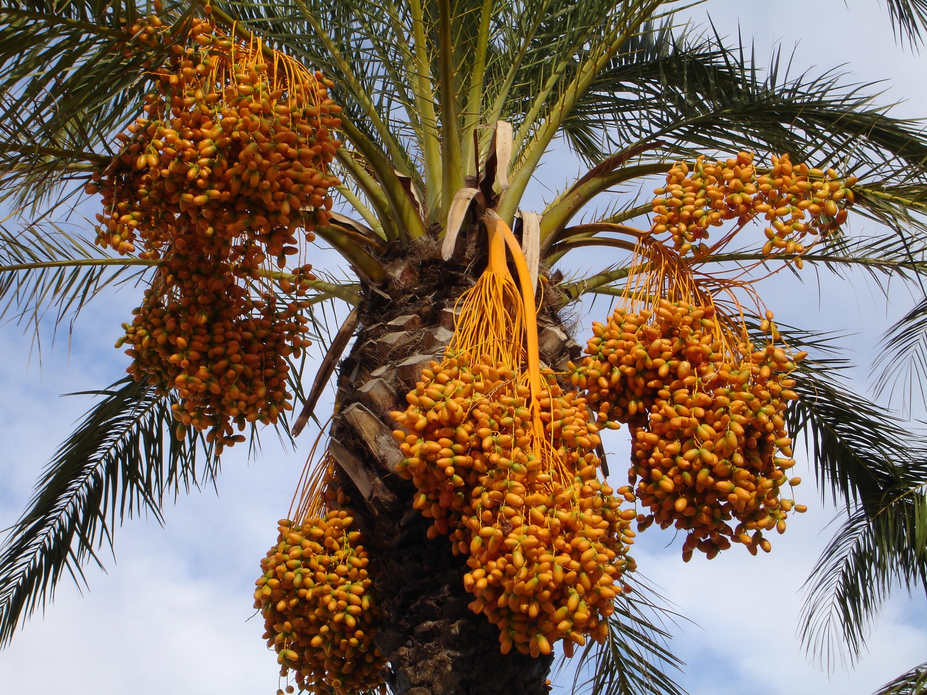 صورة المعوقات والحلول في تنمية زراعة نخيل البلح