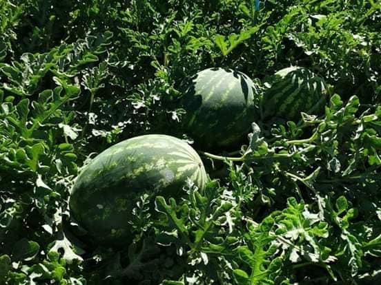 صورة توصيات خاصة بزراعة البطيخ