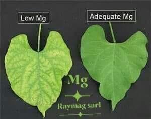 صورة تعرف على دور المغنيسيوم Mg في النبات