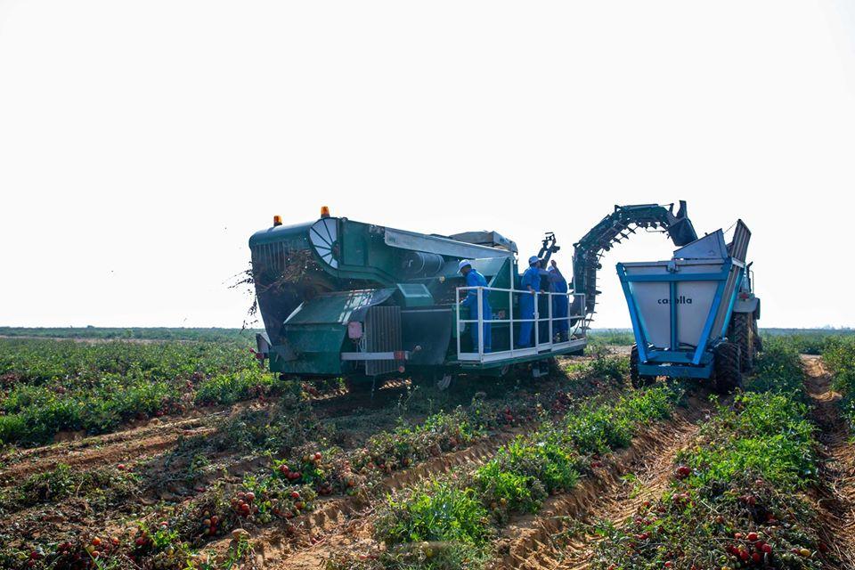 صورة شركة بى أند جى للعصائر والمركزات تبدأ الحصاد الآلي لمحصول الطماطم للتصنيع