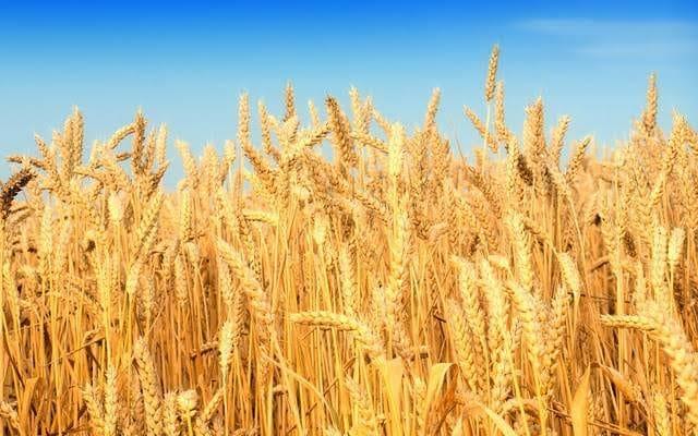 صورة مساحات القمح ترتفع الى  3 ملايين و 402 ألف فدان