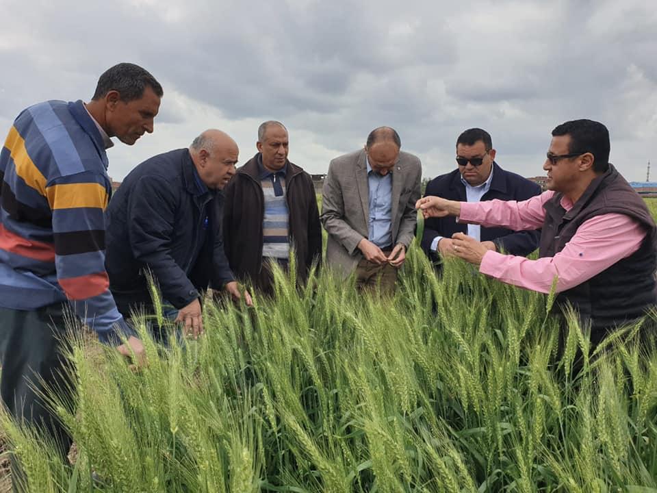 صورة الزراعة تطمئن على محصول القمح بعد موجة الطقس السيئ