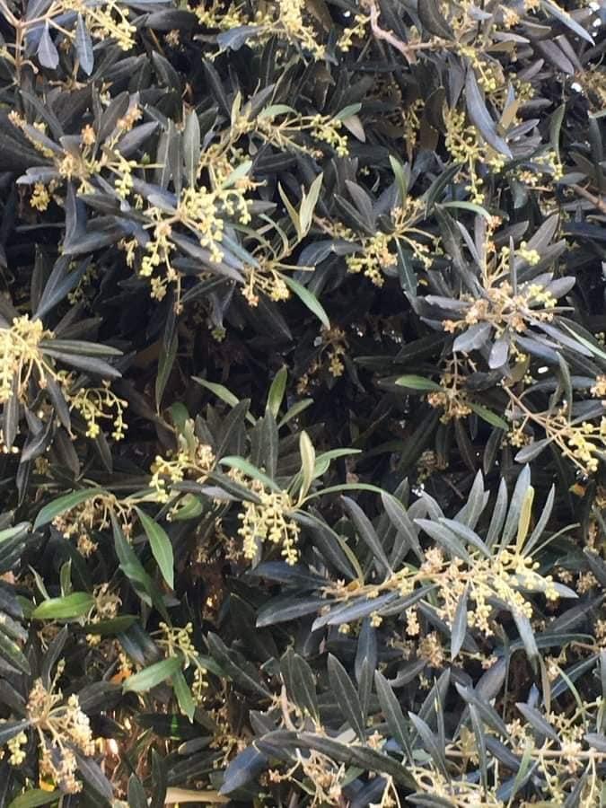 صورة أسباب وعلاج تساقط أزهار الزيتون